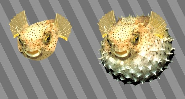 Two pufferfish.